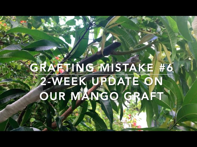 My Grafting Mistake #6 and a 2-week update on our mango graft