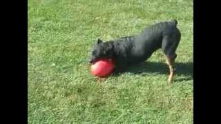 My Rottweiler, Tex And His New Toy, The Jolly Pet Jolly Egg
