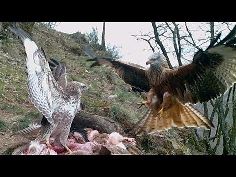 Red Kite and Common Buzzard fighting. Rotmilan und Mäusebussard kämpfen. Germany / Eifel