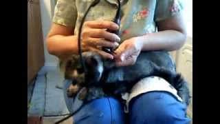 Clipping The Head Of A Schnauzer Puppy