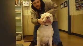 WORLDS BIGGEST WHITE PIT BULL ON SCALE AT 1 YEAR OLD ***MUST SEE***
