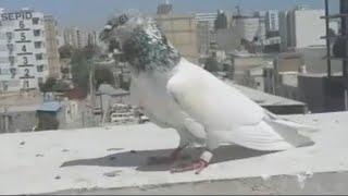Dubai After 4:30pm 8_Pigeons Landing In High 46°Temperature|Dubai Pigeons Sports