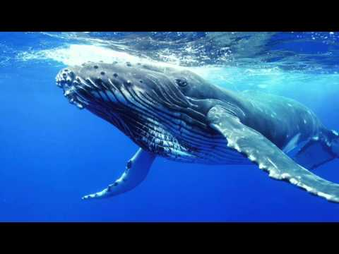 baleen whale migration youtube
