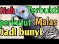 Suara Perkutut Lokal Gacor Jiaaahh Terpancing Juga Perkutut Malas Nih Buktikan Dlm  Ini  Mp3 - Mp4 Download