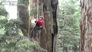 Giant Sequoia Fire Ecology Tree Climbing (セコイア ツリークライミング)