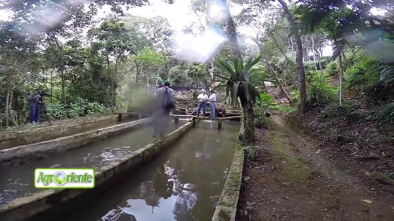 Agroriente cultivo de trucha en estanque doovi for Crianza de truchas en estanques