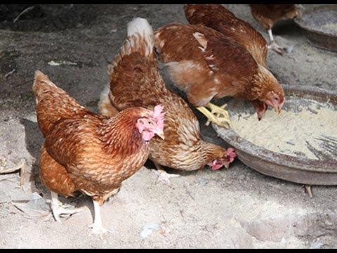 วิธีเลี้ยงไก่ไข่ร่าเริง ไข่ไก่ปลอดสารพิษคุณภาพดี ที่ Rain Forest Farm พิษณุโลก