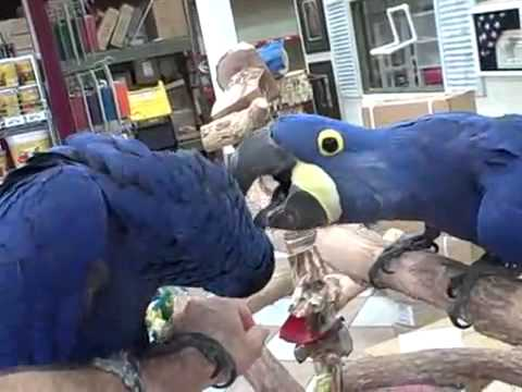 Hyacinth Macaws Birds for Sale Golden Cockatoo Exotic Birds