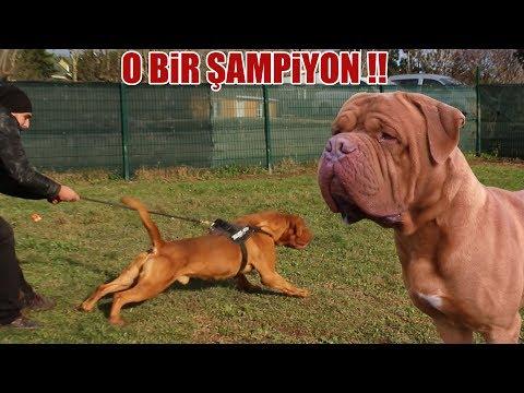 O BİR ŞAMPİYON ( Dünyanın En Güçlü Köpek Irklarından biri ) Fransız Mastiff, Biggest Dogs, Best dog