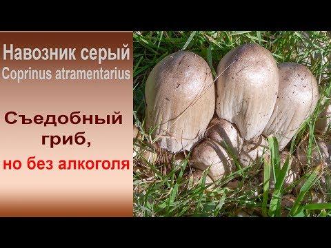 Съедобный, но без алкоголя. Навозник серый - Coprinus atramentarius.