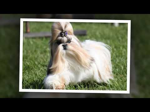 Shih Tzu dogs - You will be to buy them right now when you watch this video