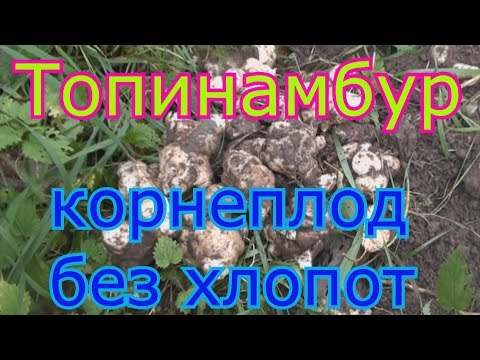 Топинамбур- корнеплод без хлопот