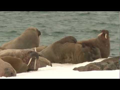 walrus dance