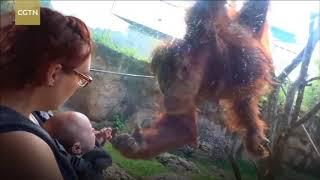 В зоопарке Луисвилла орангутан пытался погладить младенца через стекло