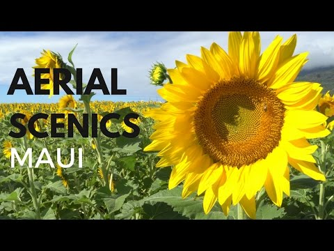 Aerial View Scenics Maui PacifIc Bio Diesel Sunflower Field