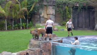 Dreamworld Tiger Island - Tigers playing