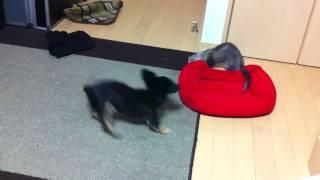 フェレットと犬.