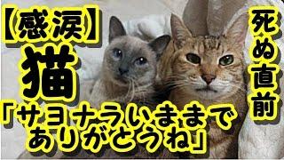 【感動 泣ける話】猫が死ぬ直前に心を許した人にだけ見せる行動が衝撃 / 猫「サヨナラいままでありがとうね」 猫の知られざる習性 ・招き猫ちゃんねる thumbnail