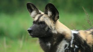 WILD DOG 2016  Wild DOG Documentary 2016 [720p] HD