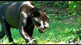 BIG CATS - JAGUAR HD