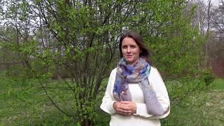 видео Приствольные круги деревьев - как обустроить цветник под деревом