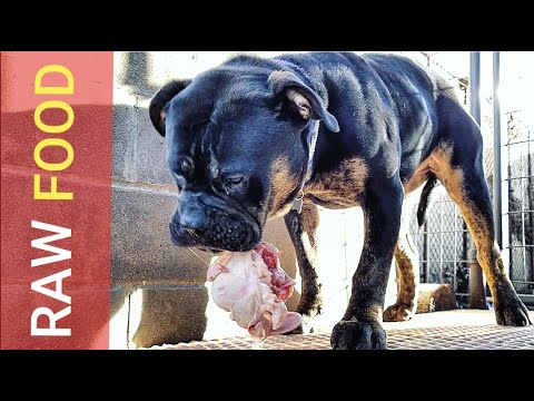 How Feeding RAW Food Builds INCREDIBLE Muscle in Puppies!!!