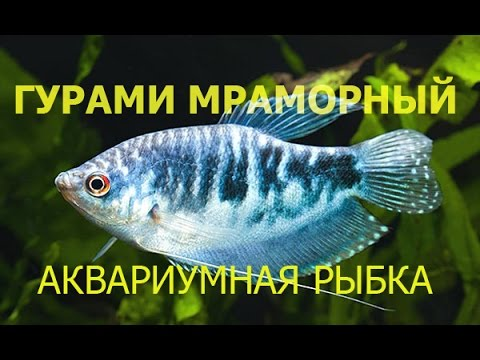 7d12ef58799e7a Гурами мраморный - YouTube