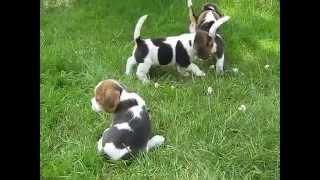 Beagle. Züchter im BCD - VDH/FCI Immer auf die Kleinen. Gregor Fiete und Ginger helfen