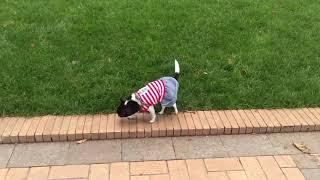 Чихуахуа Дженни гуляет в парке / Видео