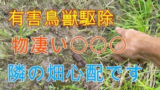 20200703箱罠見回り3ヶ所とくくり罠設置 隣にある畑が気がかりです。Wild boar box trap