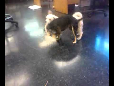 Rat Terrier plays tug of war with Poodle Mix