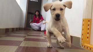 Very cute labrador young monty slow motion run away from mommy
