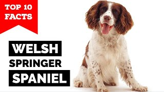 Welsh Springer Spaniel  Top 10 Facts