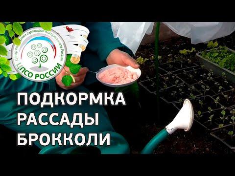 Капуста брокколи, разновидности, выращивание и фото