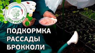 Выращиваем капусту брокколи. Подкормка рассады.(Продолжаем выращивание капусты брокколи через рассаду. В этом видео - практическая инструкция от практикую..., 2016-04-14T13:30:00.000Z)