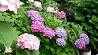 "The Carpenters ""Rainy Days And Mondays"" with lyrics 71年全米2位を..."