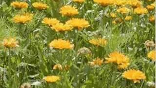 Чорнобривці 金色の花
