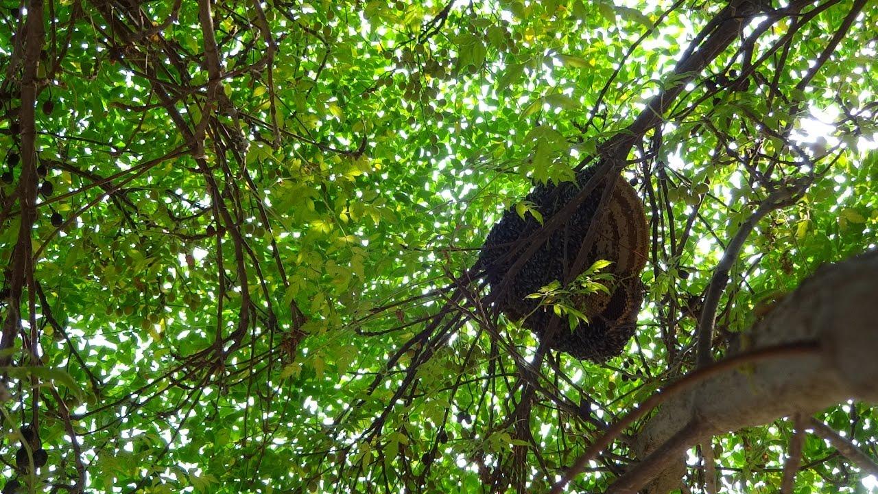 wild honey hunting in Pakistan, Small Honey bees ( Berri Tree ) April , 2016