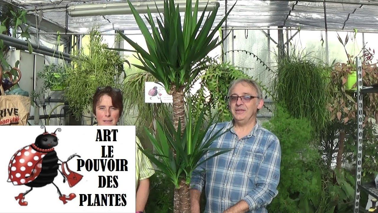 conseil jardinage:yucca elephantipes:comment faire l'entretien et