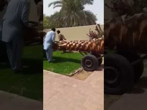 Transporting 0582662554 Date Palm Tree in Dubai.