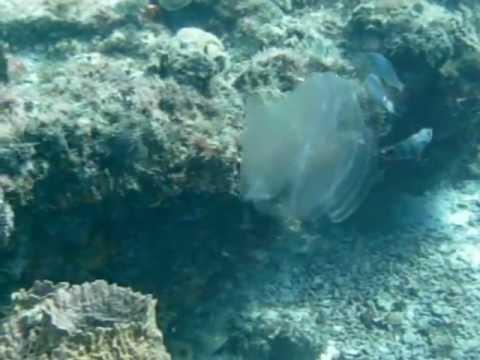 Cozumel In 2012 - UFO Jellyfish.AVI