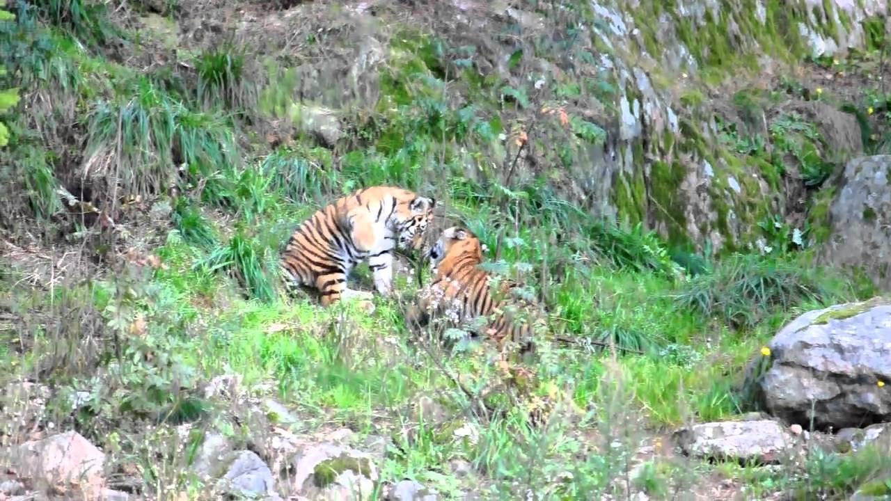 Tigerunge ihjalbiten i kolmarden
