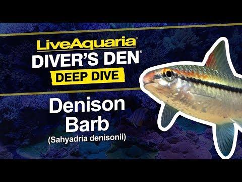 LiveAquaria® Diver's Den® Deep Dive: Denison Barb (Sahyadria Denisonii)