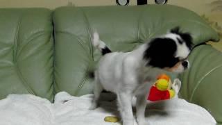2009.06.15日生まれの狆の子犬です。 http://wanboh.net/item/japanese-...