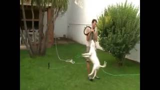 Bull Terrier  Training  Arnold