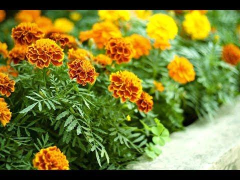 Вопрос: Какие цветы- вьюны можно посадить в огороде, чтобы скрыть изьяны?