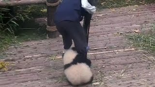 Clingy panda won't let go of favorite breeder