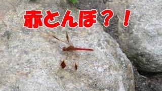 ミヤマアカネ(深山茜)♂~静岡市清水森林公園やすらぎの森にて~