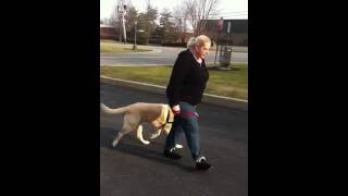 Brief Training Walk With The Hh No-pull Harness