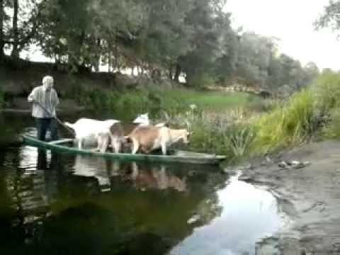 Перевозка коз в лодке